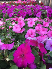 purple impatiens