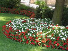 red and white impatiens in landscaping