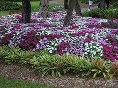 IMPATIENS SEASIDE MIX IN LANDSCAPING