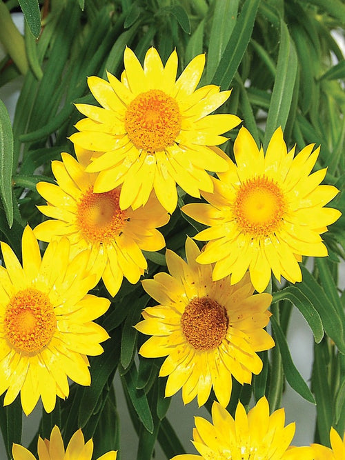 BRACTEANTHA 'YELLOW STRAWFLOWER'