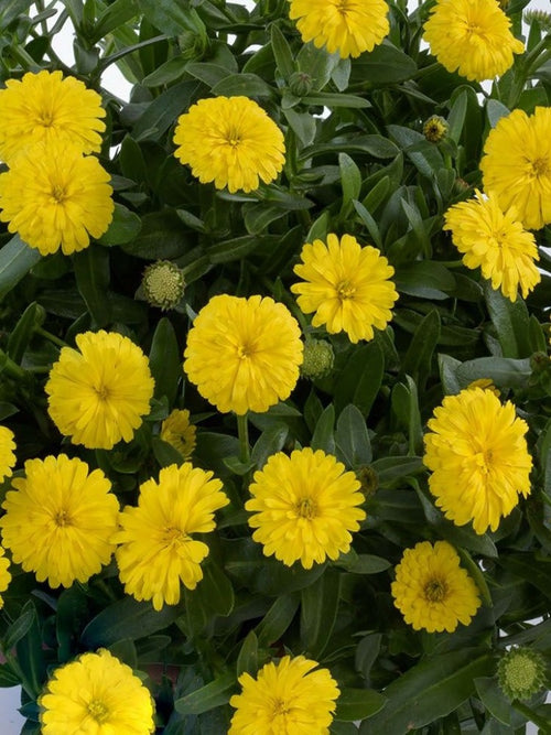 CALENDULA CHEERS 'YELLOW'