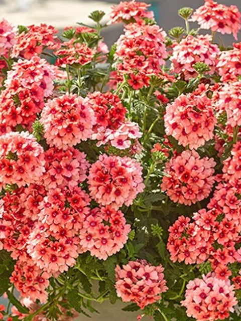 VERBENA 'LOBSTERFEST'
