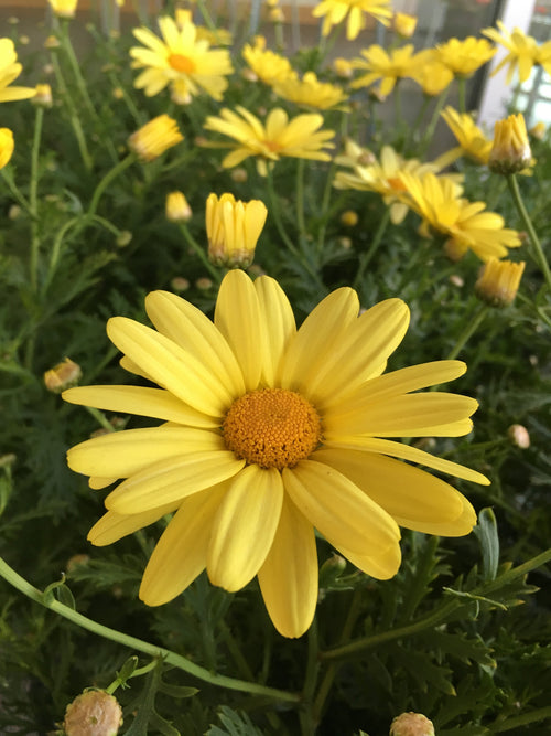 ARGYRANTHEMUM BEAUTY YELLOW MARGUERITE