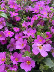 BACOPA - GREAT CLASSIC PINK