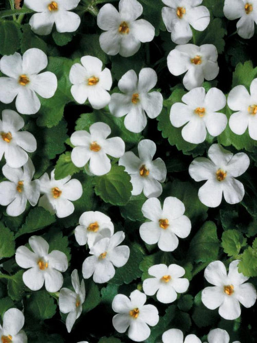 BACOPA 'WHITE'