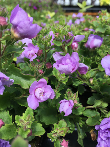 BACOPA 'GREAT CLASSIC PINK'