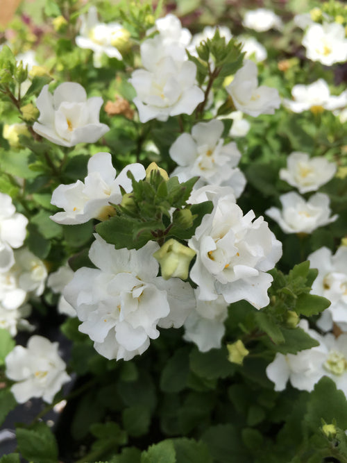 BACOPA - DOUBLE SNOWBALL WHITE