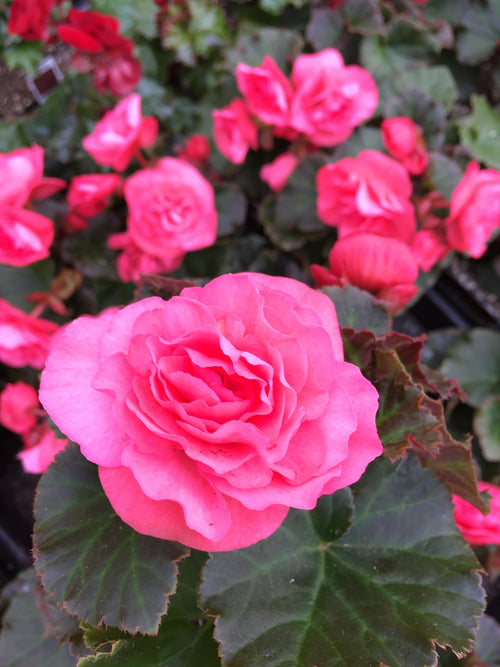 BEGONIA - SOLENIA LIGHT PINK