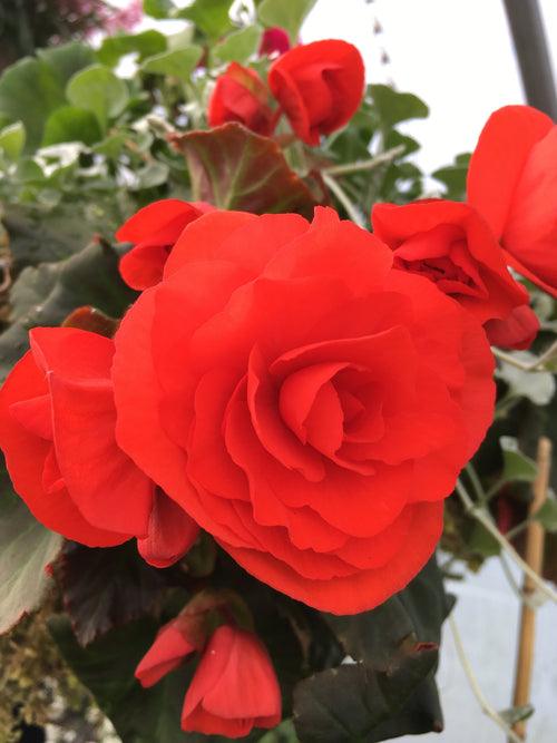 BEGONIA - SOLENIA RED IMPROVED