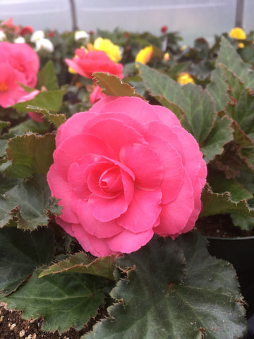 BEGONIA SOLENIA RED ORANGE