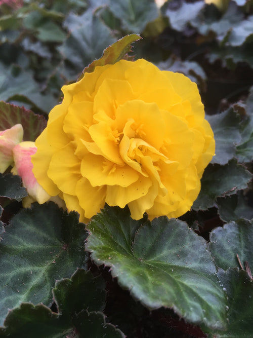 BEGONIA - TUBEROUS NONSTOP YELLOW RED BACK