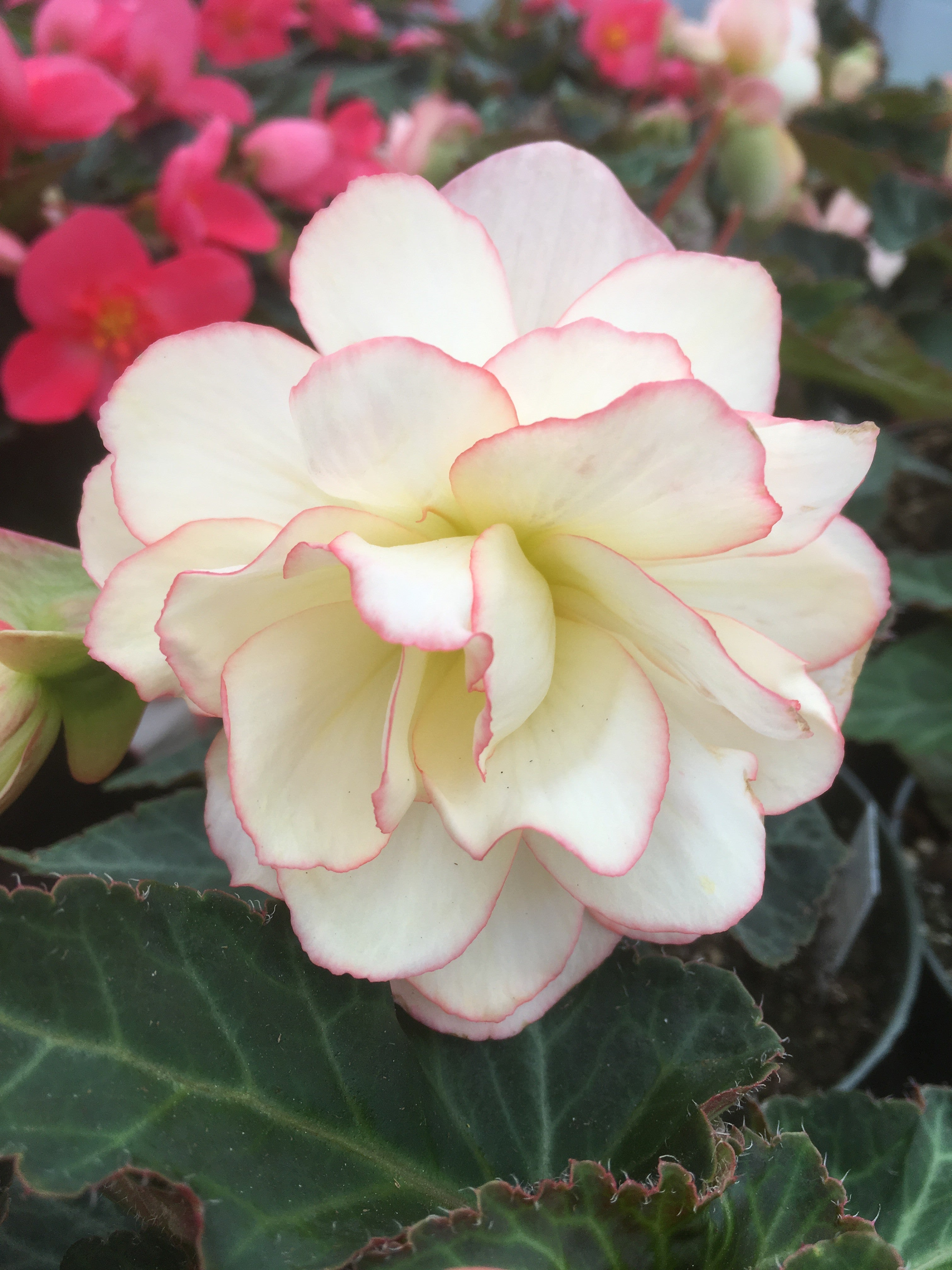 BEGONIA - UNBELIEVABLE MISS MONTREAL