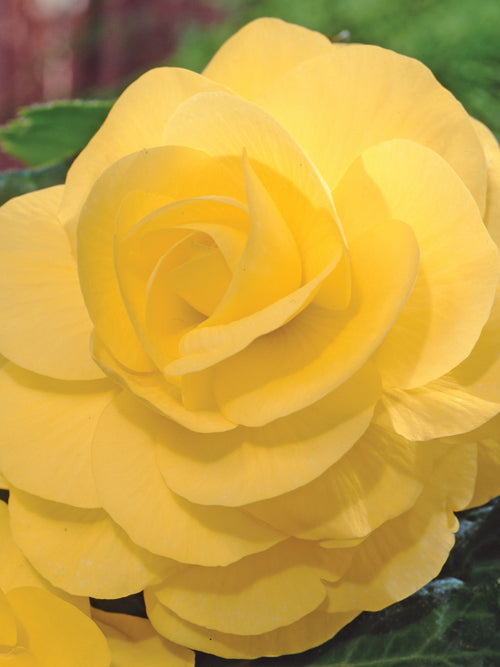 BEGONIA TUBEROUS ROSEFORM 'YELLOW'