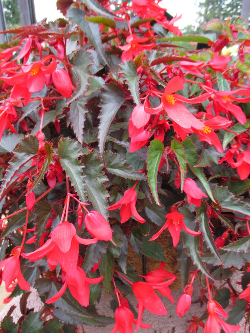 BEGONIA BOLIVIENSIS WATERFALL ENCANTO 'RED'