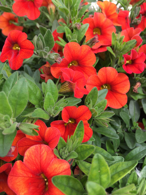 CALIBRACHOA 'COLIBRI ORANGE'