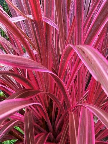 CORDYLINE PASO DOBLE