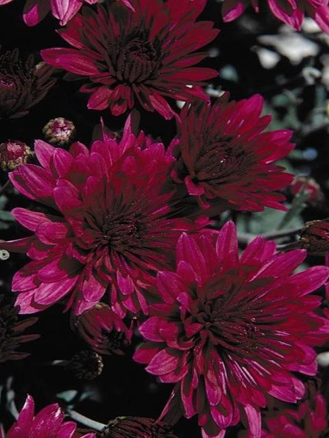 FALL GARDEN MUM EVENTIDE PURPLE