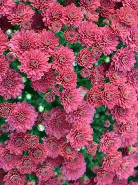 FALL GARDEN MUM EVENTIDE DARK PINK