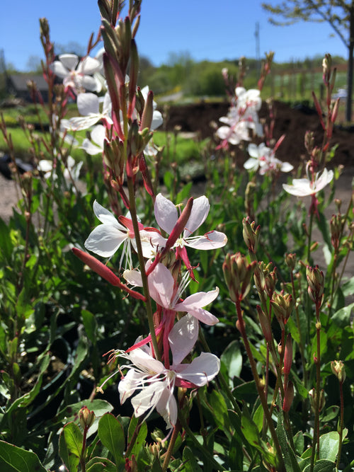GAURA 'SNOW FOUNTAIN'