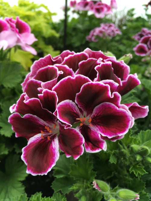 GERANIUM REGAL - (MARTHA WASHINGTON) ELEGANCE IMPERIAL