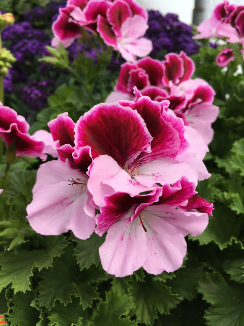 GERANIUM REGAL - (MARTHA WASHINGTON) ELEGANCE PURPLE MAJESTY