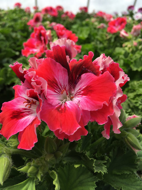 GERANIUM REGAL(MARTHA WASHINGTON) 'ELEGANCE RED VELVET'