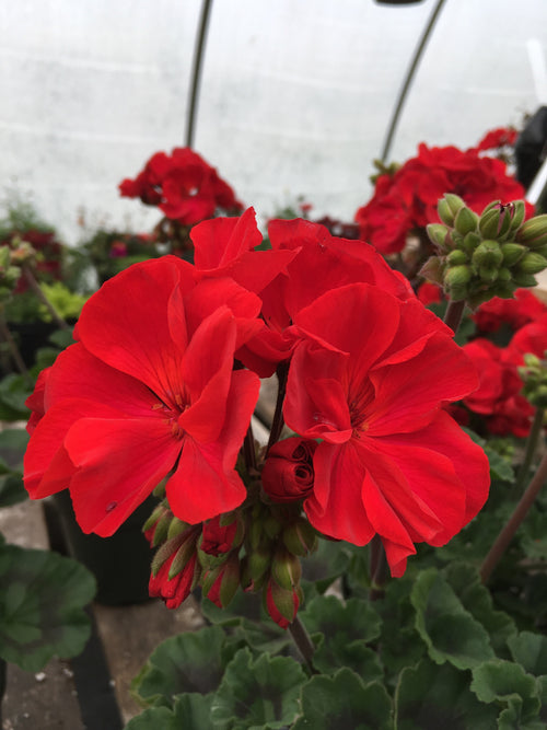 GERANIUM ZONAL - PRESTO DARK RED