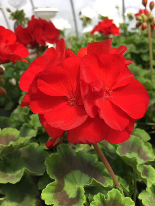 GERANIUM ZONAL 'ROCKY MOUNTAIN RED'