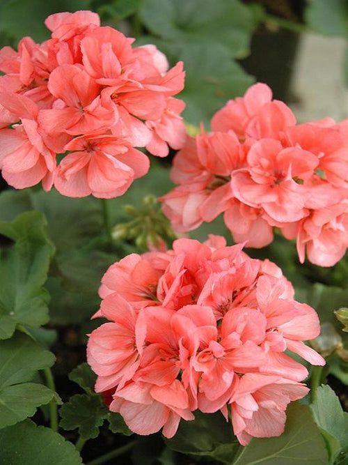 GERANIUM PATRIOT 'SALMON'