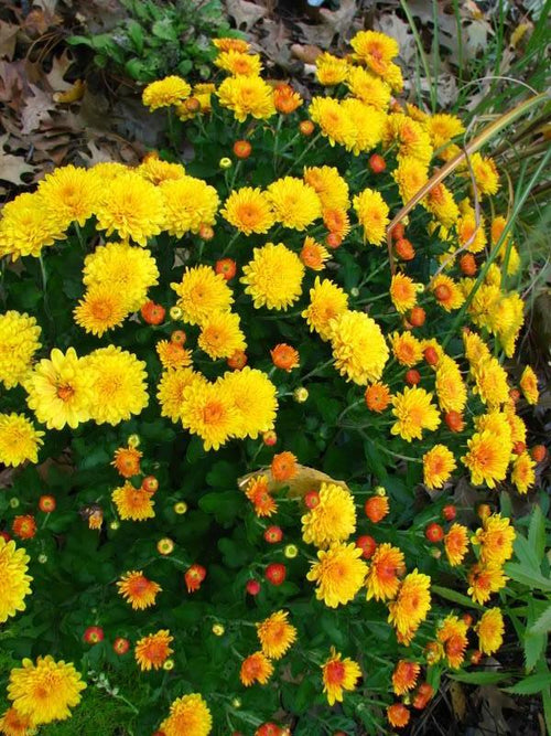 FALL GARDEN MUM GOLDEN CHERYL