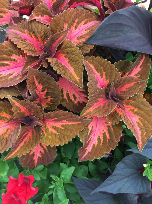 COLEUS 'KINGSWOOD TORCH'