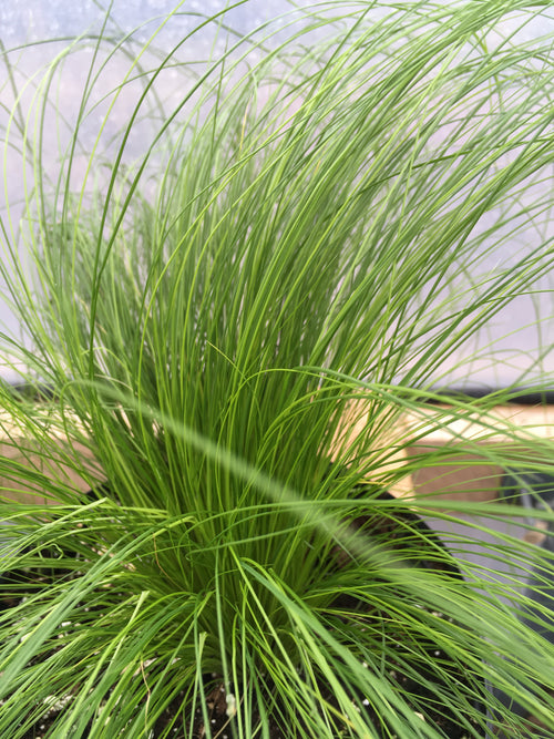 STIPA TENUISSIMA PONY TAIL GRASS