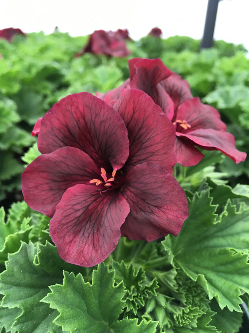 GERANIUM REGAL (MARTHA WASHINGTON) 'ELEGANCE BURGUNDY'