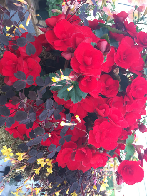 BEGONIA TUBEROUS ROSEFORM 'RED'