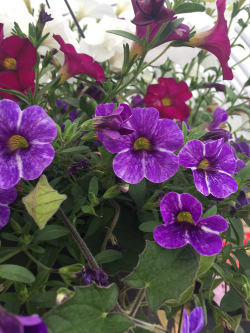CALIBRACHOA CHAMELEON 'SKYWALKER'