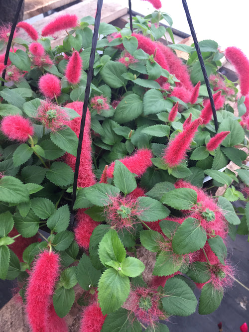 ACALYPHA CHENILLE 'FIRETAILS'