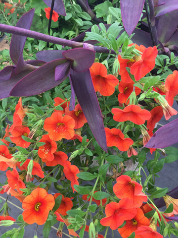 CALIBRACHOA 'RED LIPS'