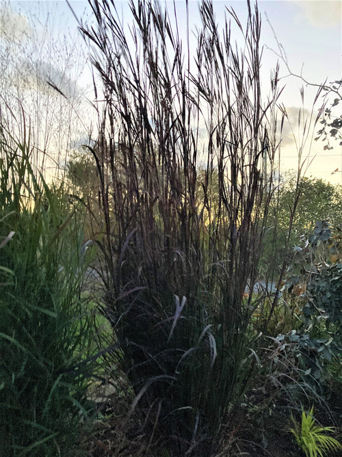 ANDROPOGON 'BLACK HAWKS'