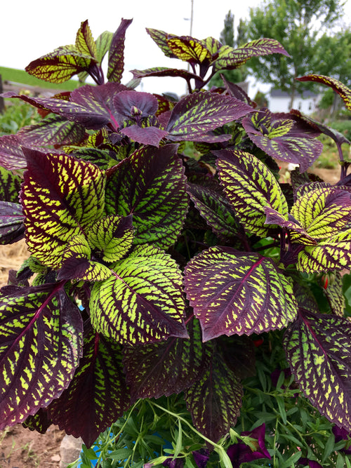 COLEUS - FISHNET STOCKINGS