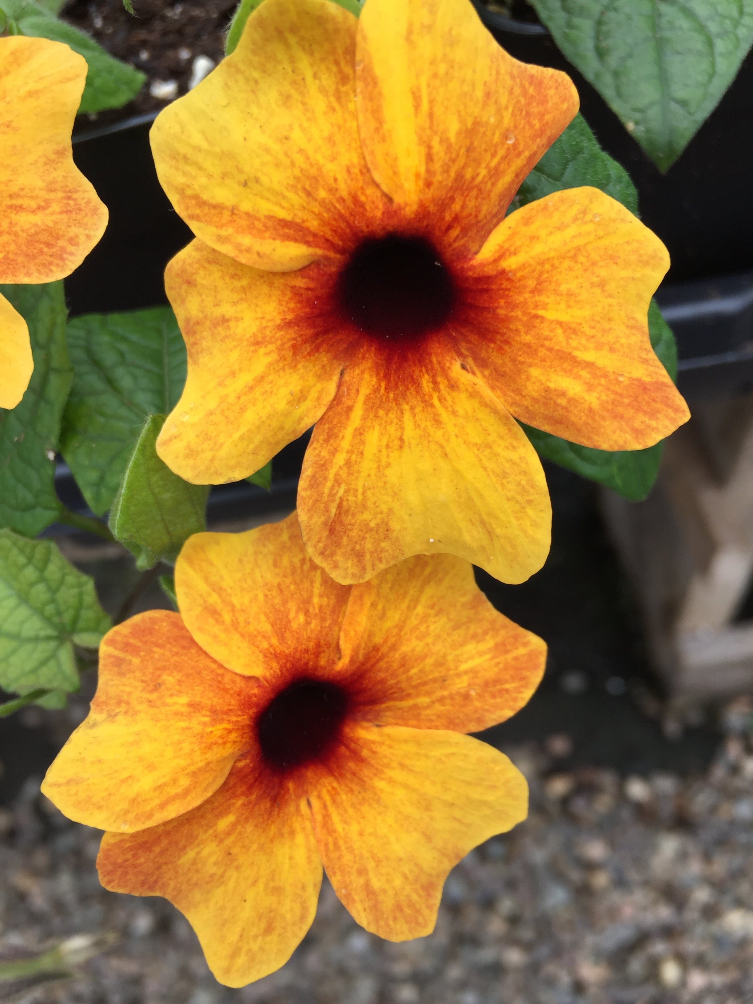 THUNBERGIA (BLACK EYED SUSAN VINE) 'ORANGE DIVERSE'