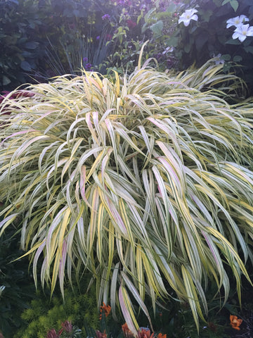 MISCANTHUS SINENSIS 'LITTLE MISS'