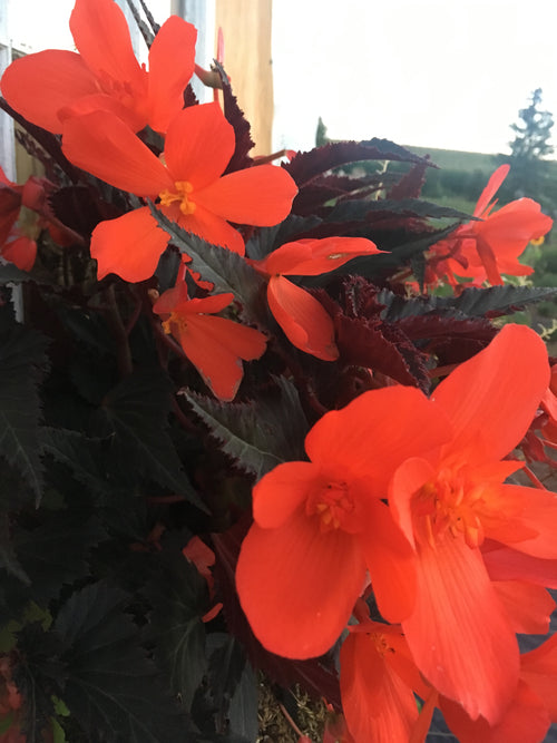 BEGONIA - UNSTOPPABLE UPRIGHT FIRE