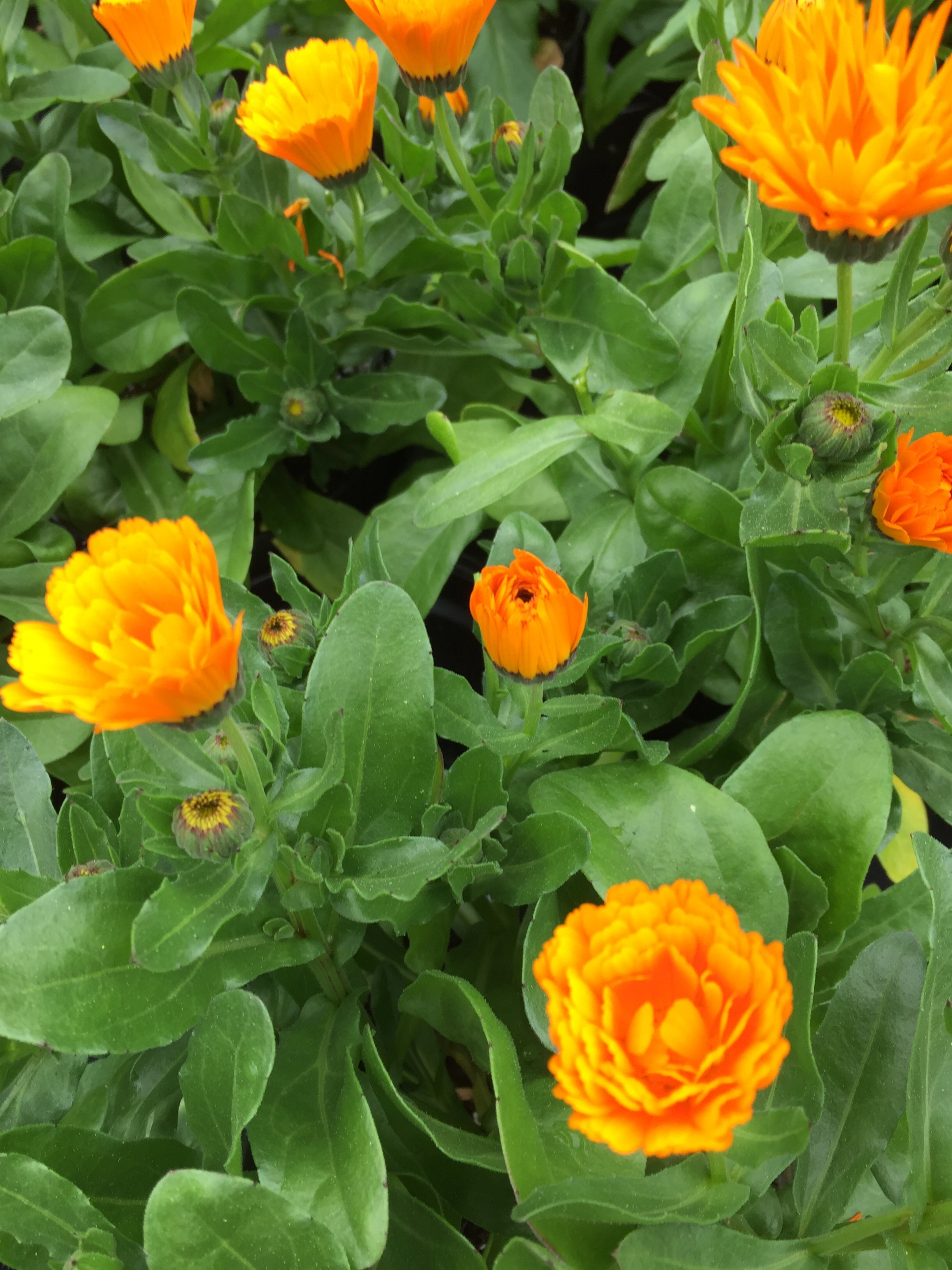 CALENDULA CHEERS 'ORANGE'