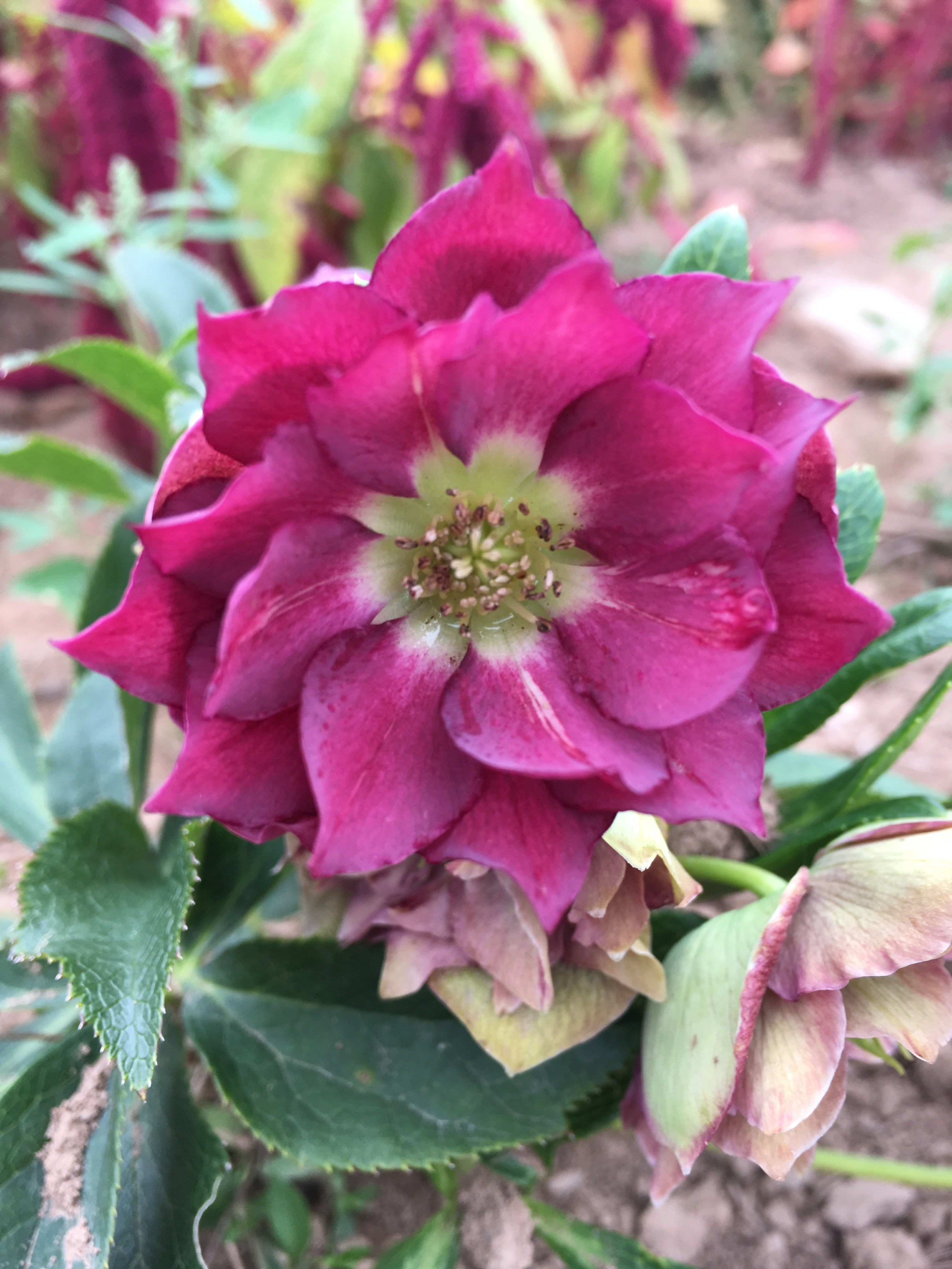 HELLEBORUS WINTER THRILLER 'FLUFFY RUFFLES'