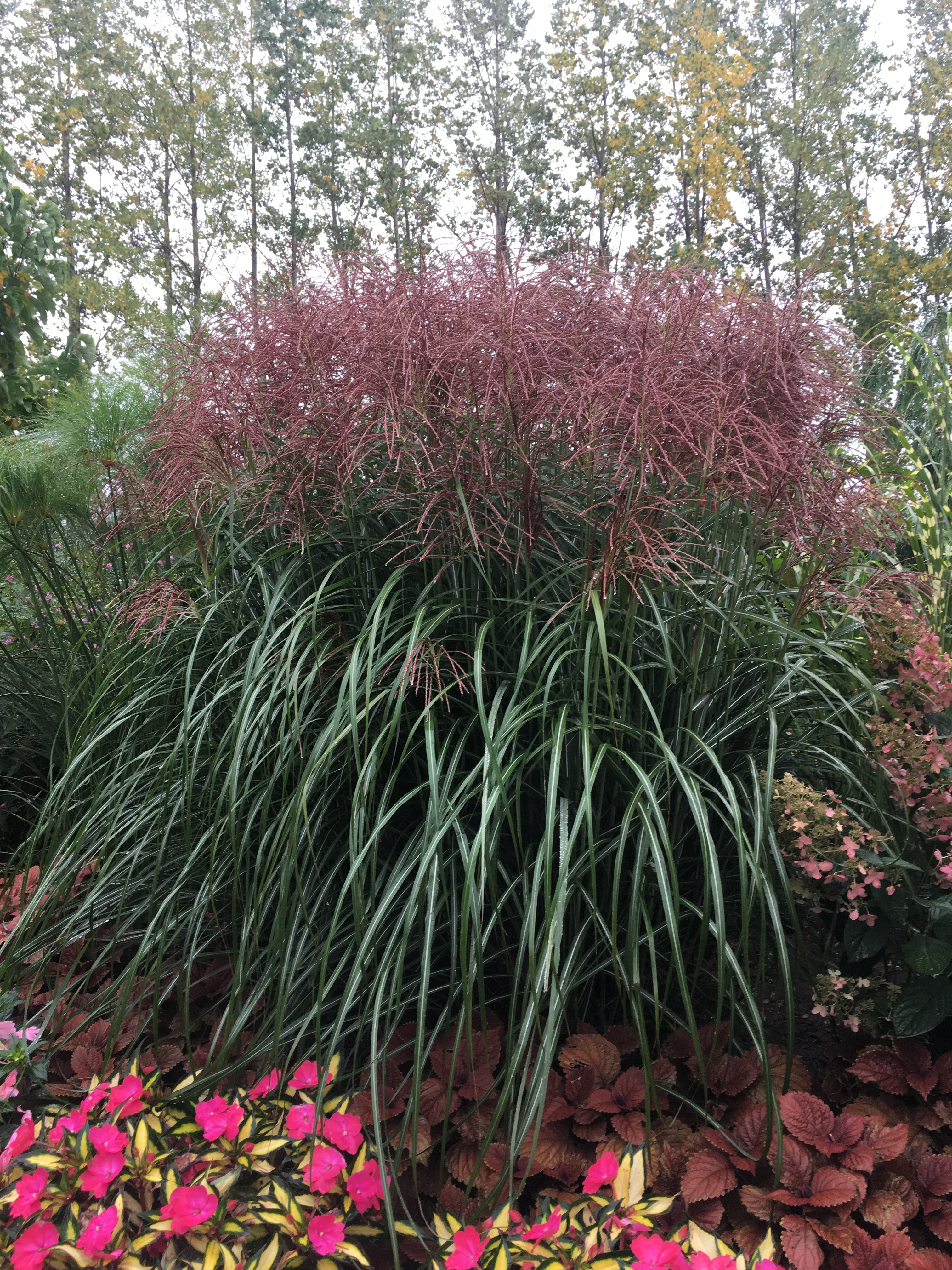 miscanthus sinensis 39 malepartus 39 horlings plants. Black Bedroom Furniture Sets. Home Design Ideas