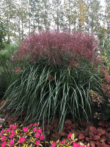 PANICUM 'BAD HAIR DAY'