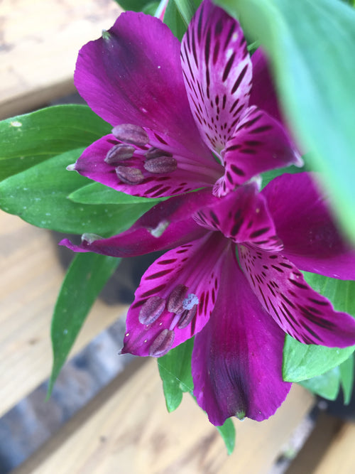 ALSTROEMERIA INCA 'REPLAY'