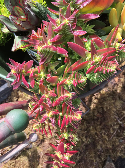 SUCCULENT CRASSULA 'RED PAGODA'