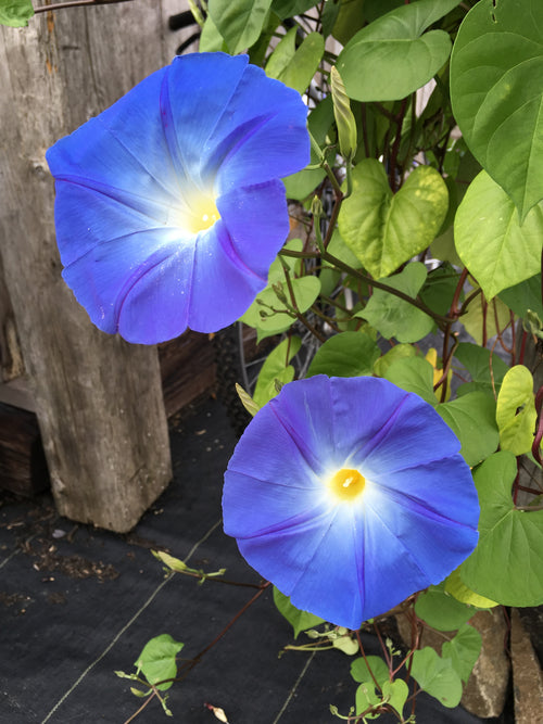 IPOMOEA (MORNING GLORY VINE) HEAVENLY BLUE