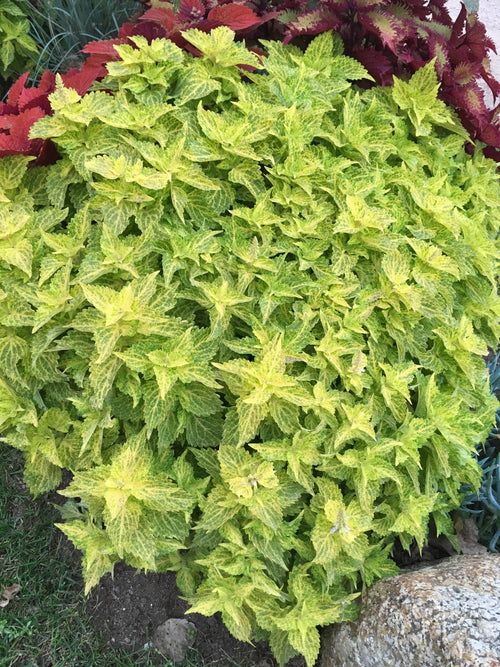 COLEUS MAIN STREET 'RIVERWALK'